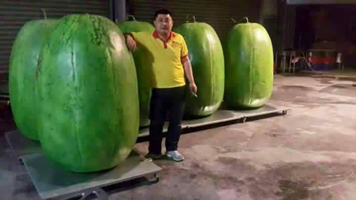 صور اكبر بطيخه في العالم - تايوان