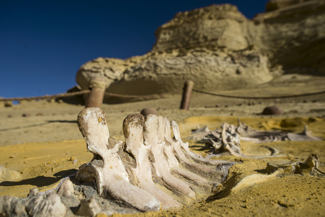 متحف وادي الحيتان 1 تعرف على متحف وادي الحيتان المصري