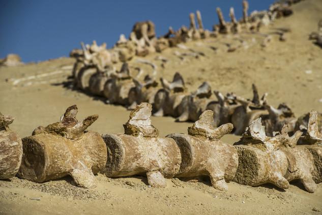 متحف وادي الحيتان 6 تعرف على متحف وادي الحيتان المصري