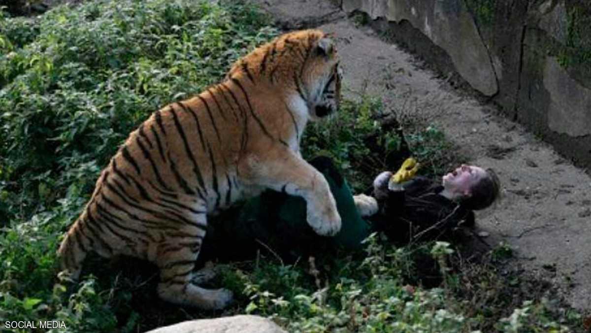 نمر يهاجم الحارسه 1 نمر يهاجم حارسه في حديقه حيوانات روسيه