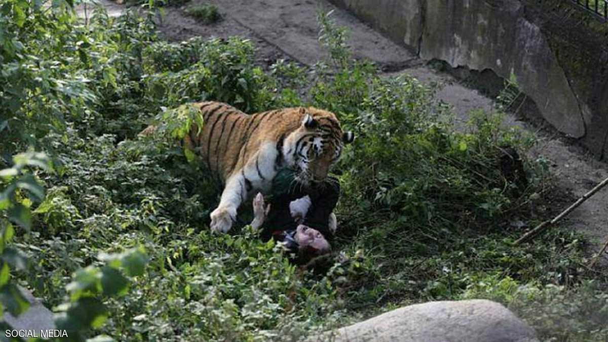 نمر يهاجم الحارسه 2 نمر يهاجم حارسه في حديقه حيوانات روسيه