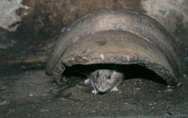 انتشار الطاعون الفئران بريئة من نشر الطاعون