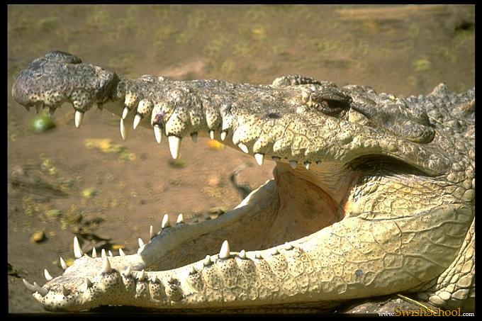 صور تمساح تماسيح حيوانات مفترسه أكبر تمساح في العالم