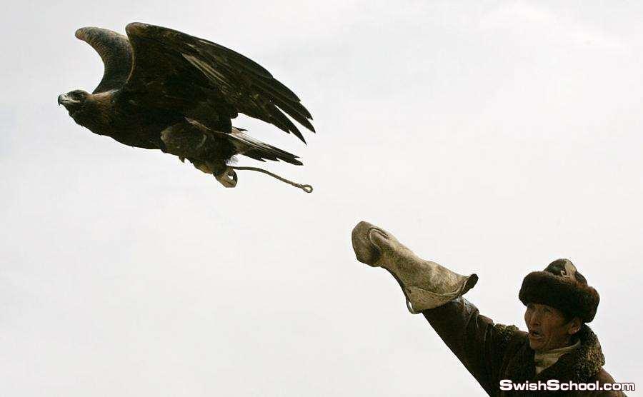 الـنـسـر الـذهـبـي golden eagle صائد الذئاب