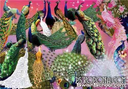 صور طاووس وطيور مقصوصه