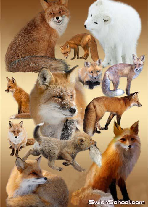 صور ثعالب رائعه بدون خلفيه  Red foxes PNG