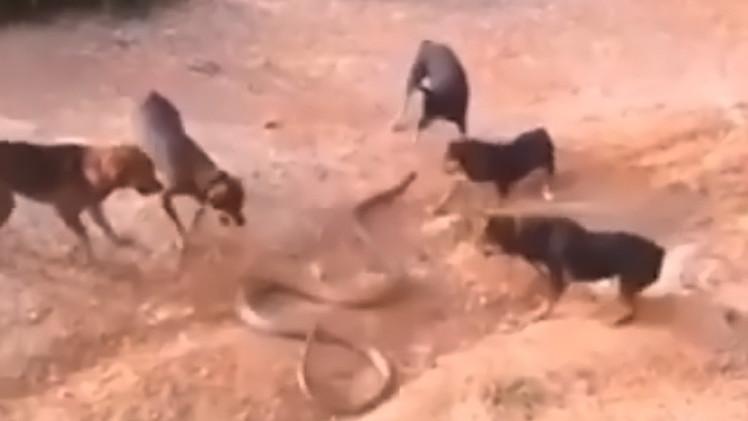 بالفيديو : معركه بين الكوبرا العملاقة و قطيع من الكلاب