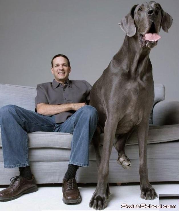 صوره اضخم كلب في العالم يدخل موسوعه جينيس