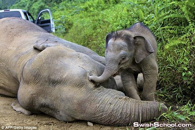صور فيل صغير يبكي على امه الميته