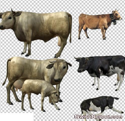 صور مقصوصه بقرات , بقر , حيوانات , صور عاليه الجوده , سكرابز , بدون خلفيه