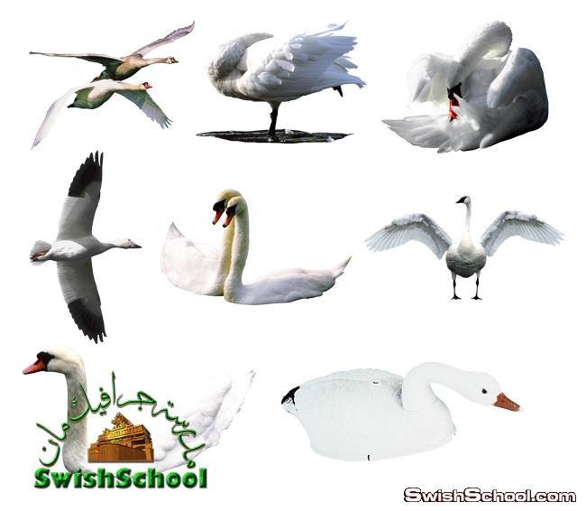 صور مفرغه بط ووز وارانب عاليه الجوده png - كليب ارت طيور للتصميم