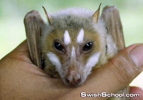 اكبر انواع الخفافيش الثعلب الطائر
