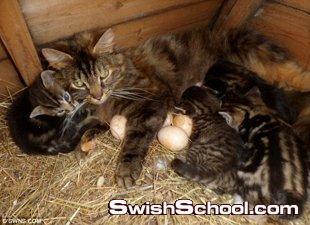 قطة تعتني ببيض دجاجة
