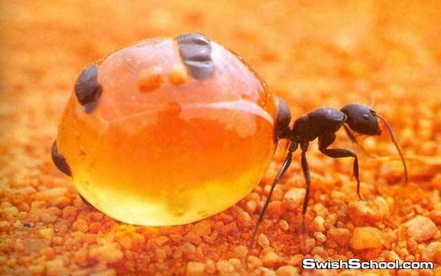 صور ومعلومات عن نمله وعاء العسل