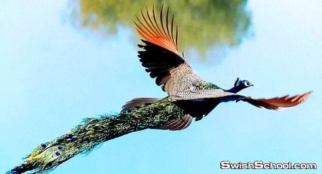 شاهد كيف تحلق الطاوويس في الهواء
