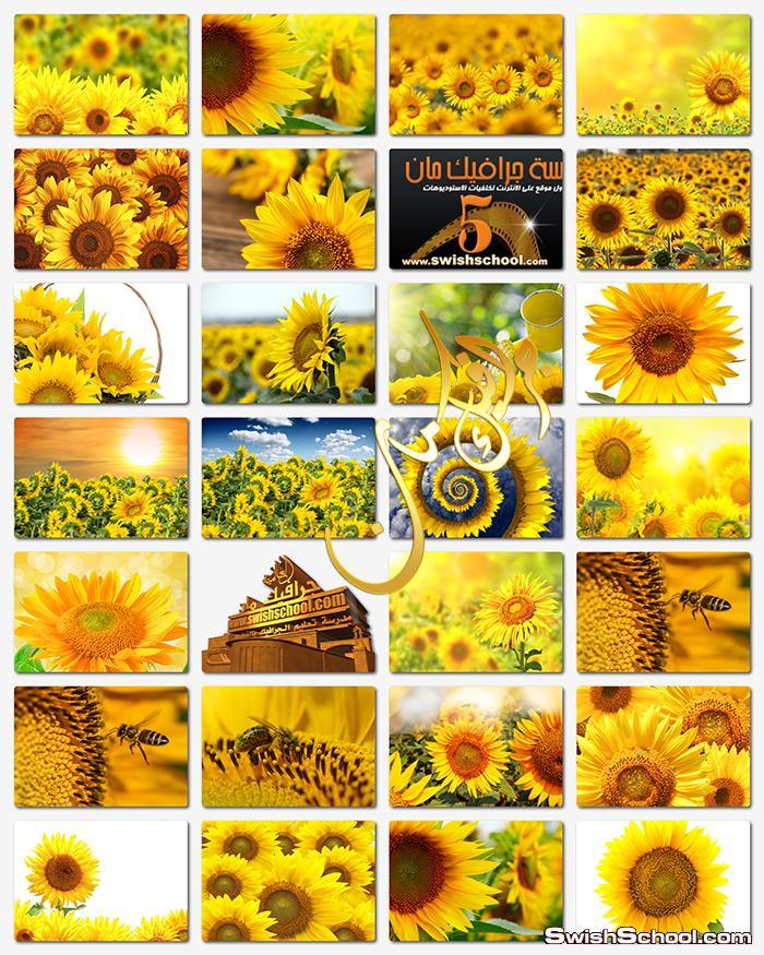 خلفيات زهور دوار الشمس عاليه الدقه للتصميم jpg - اجمل صور عباد الشمس