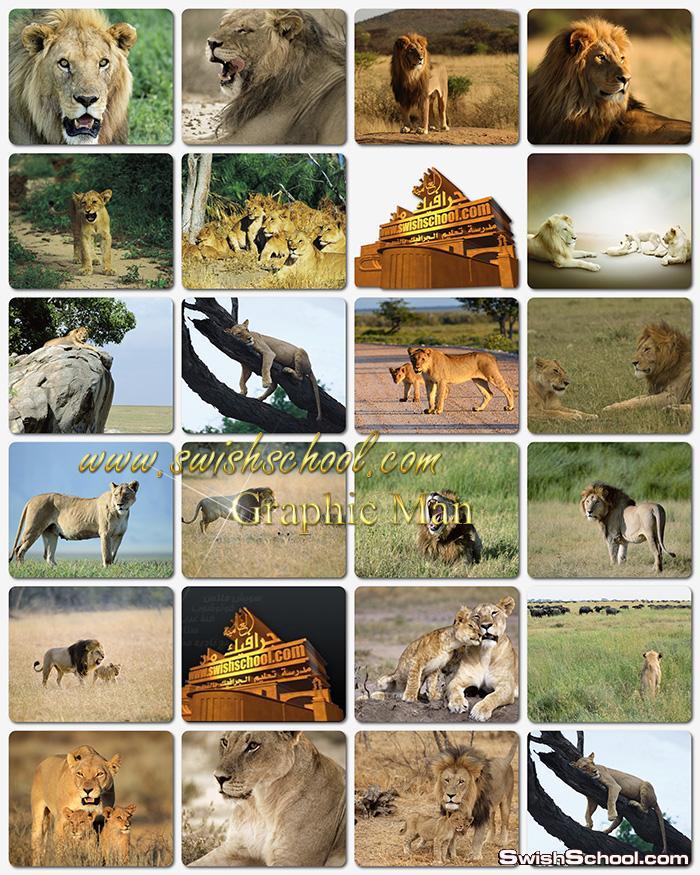 صور اسود jpg  - خلفيات ملك الغابه عاليه الجوده للتصميم