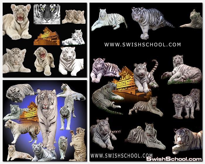 سكرابز النمر الابيض psd - صور مقصوصه نمور بيضاء png