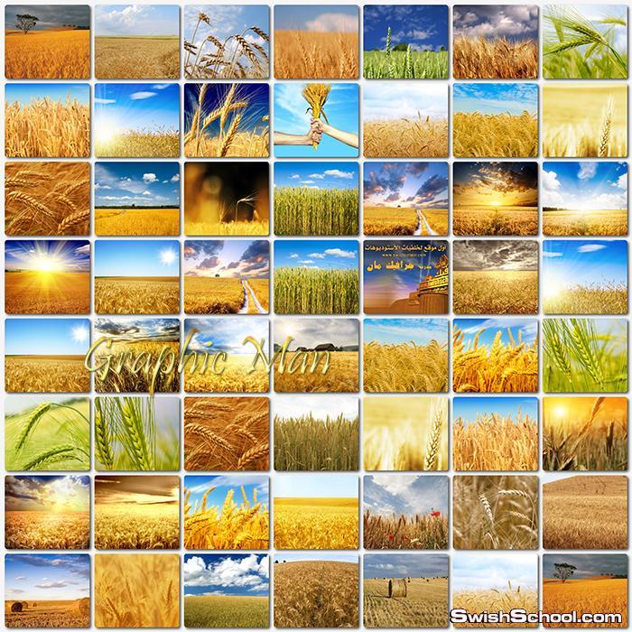 اجمل خلفيات حقول القمح الذهبيه عاليه الجوده للتصميم وسطح المكتب jpg