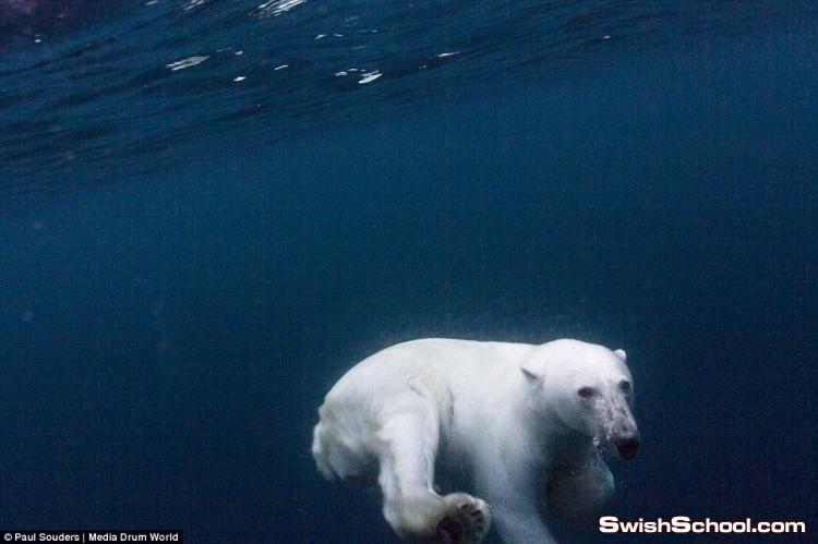 صور للدببة البيضاء السبّاحة لقطات قريبه