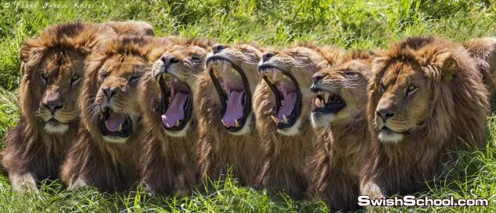 تصوير احترافي لملك الغابه على ايد مصورين عالمين