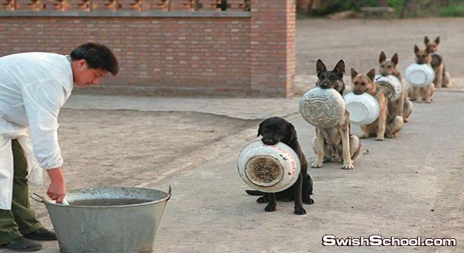 الكلاب البوليسيه في الصين في غايه الانتظام