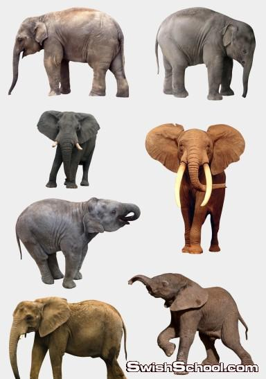 صور مقصوصه افيال , فيل , حيوانات , افيال , صور عاليه الجوده , صور بدون خلفيه , سكرابز