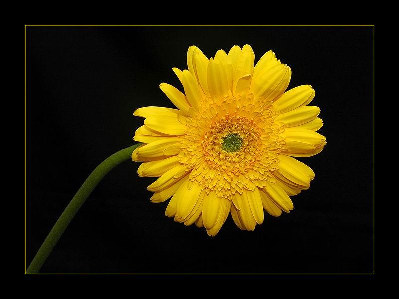 صور ورود صور ازهار صفراء ورد اصفر