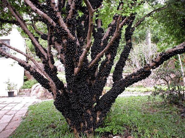 شجرة العنب البرازيلي تنمو ثمارها على جذعها