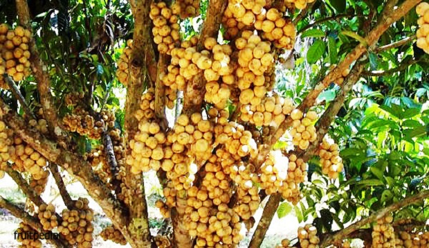 تعرف على فاكهة لانقسات الغريبه الشكل واين تنمو ؟