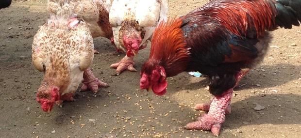 بالصور أغرب أنواع الدجاج في العالم واين يعيش ؟