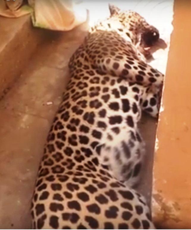 بالصور : نمر يلتهم طفله 4 سنوات في الجيزه مركز العياط