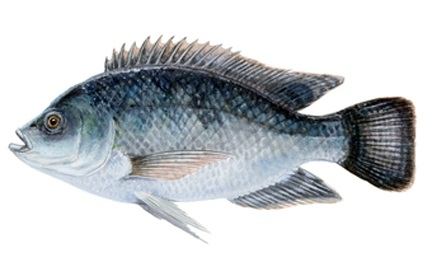 تحذير من تناول 5 انواع اسماك منها البلطي