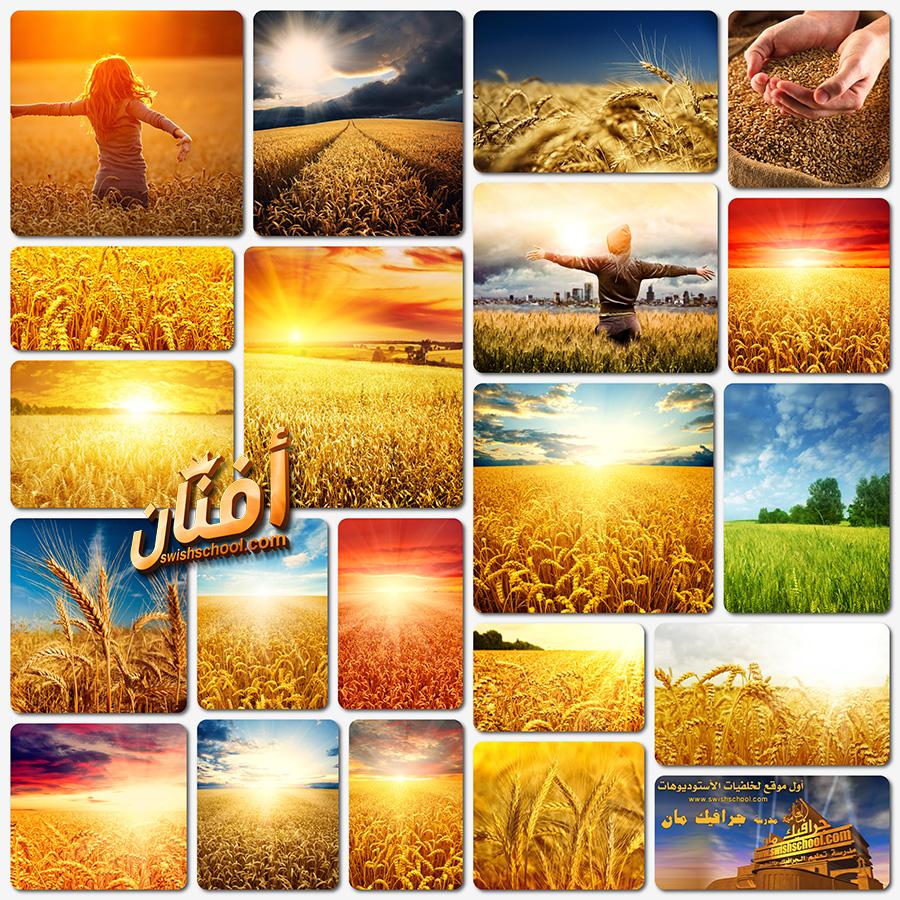 خلفيات حقول القمح الذهبيه بدقه عاليه للتصميم jpg