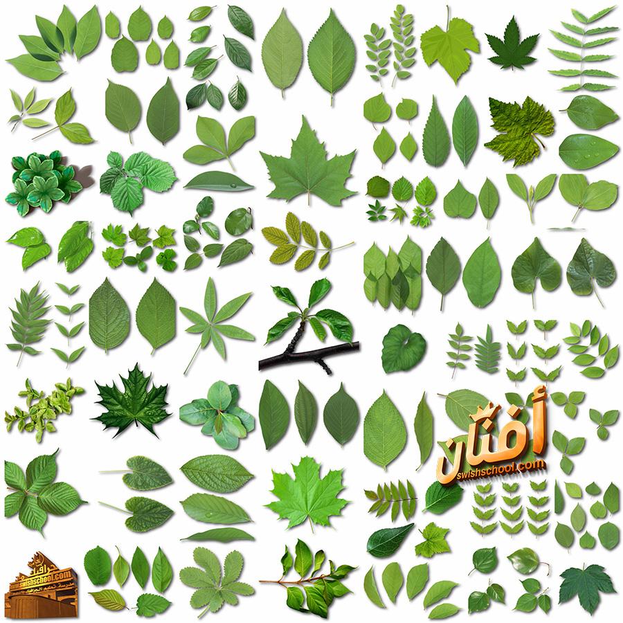 كولكشن سكرابز اوراق شجر اخضر عالي الجوده للفوتوشوب png