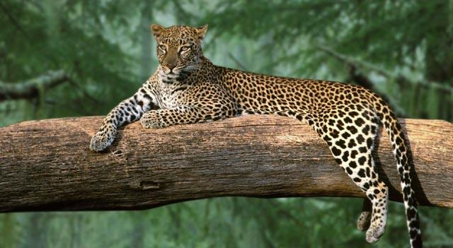 south arabian leopard صور