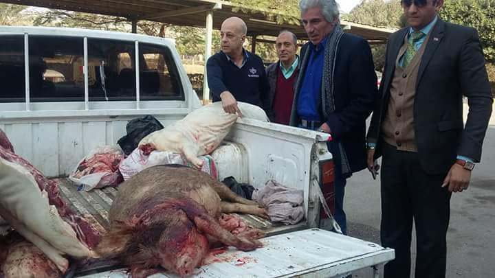 ذبح الخنازير وبيعها للمطاعم في القاهره 2 ذبح الخنازير وبيعها للمطاعم في القاهره