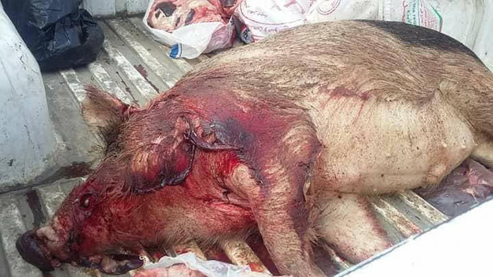 ذبح الخنازير وبيعها للمطاعم في القاهره 4 ذبح الخنازير وبيعها للمطاعم في القاهره