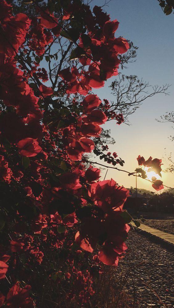 خلفيات جوال زهور 1 خلفيات جوال   ورد وازهار