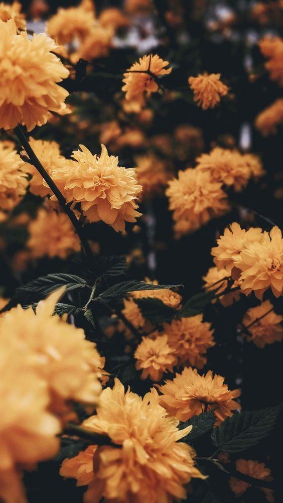 خلفيات جوال زهور 10 خلفيات جوال   ورد وازهار