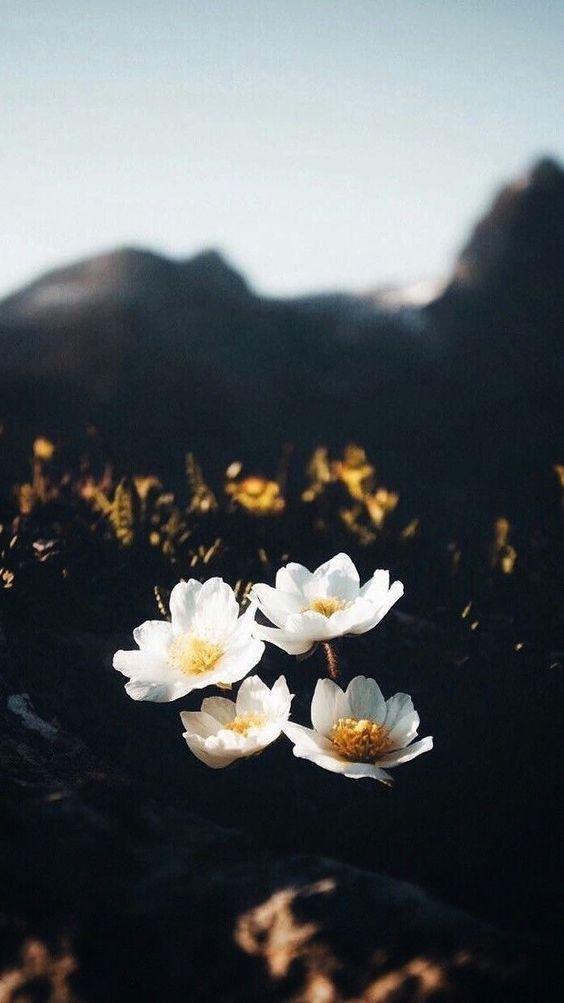 خلفيات جوال زهور 11 خلفيات جوال   ورد وازهار