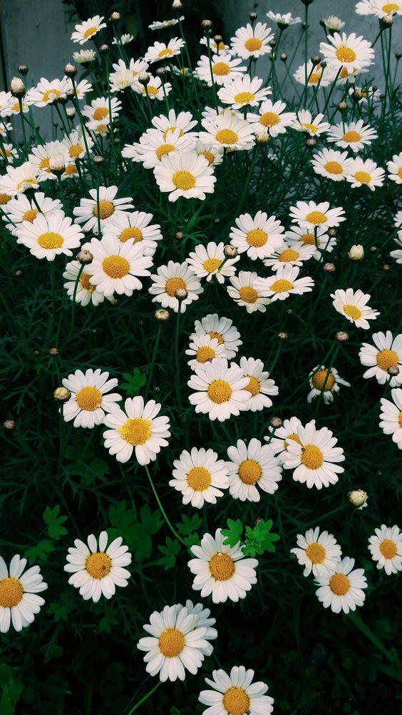 خلفيات جوال زهور 12 خلفيات جوال   ورد وازهار