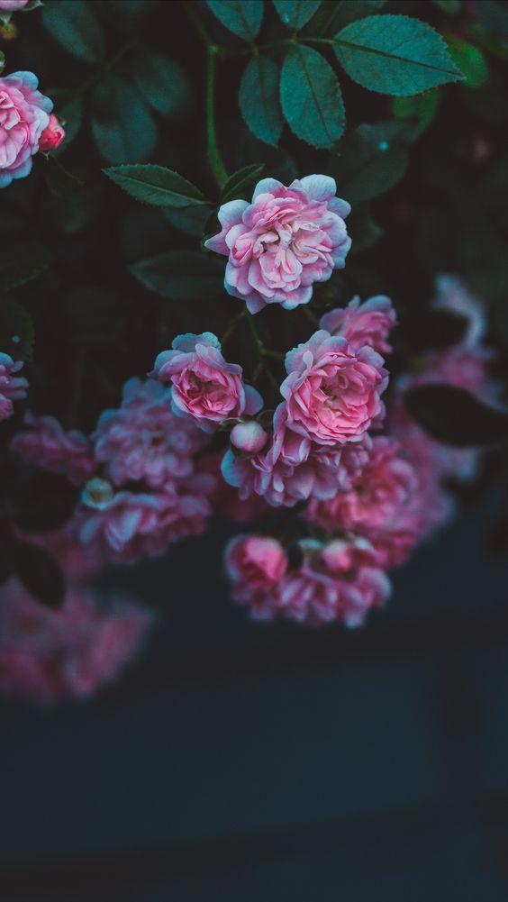 خلفيات جوال زهور 13 خلفيات جوال   ورد وازهار