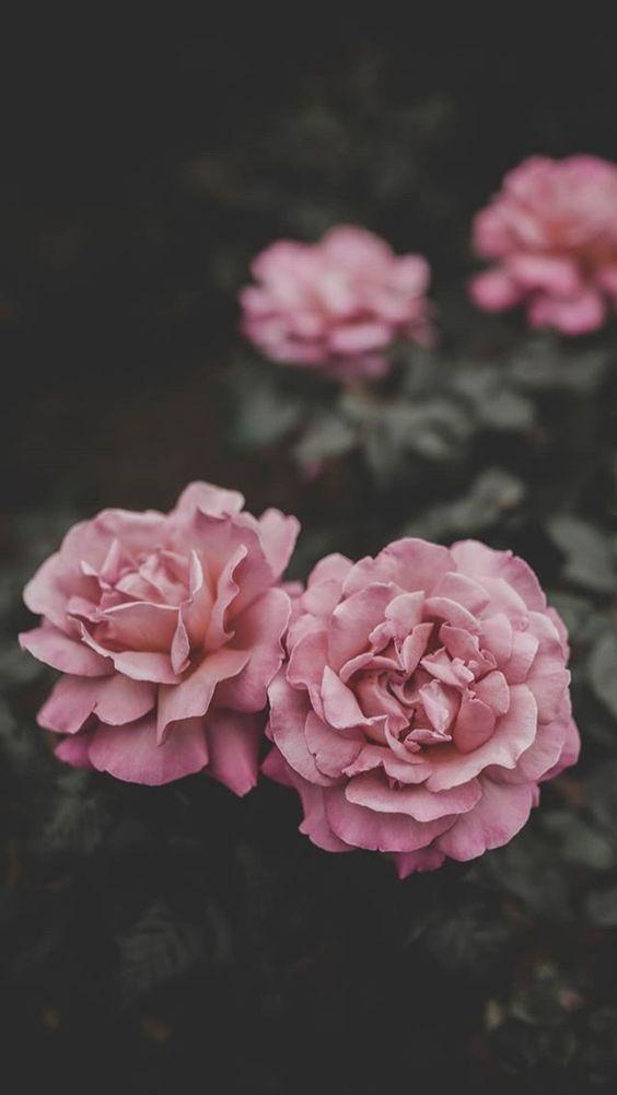 خلفيات جوال زهور 16 خلفيات جوال   ورد وازهار