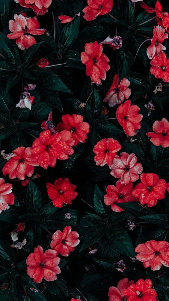 خلفيات جوال زهور 17 خلفيات جوال   ورد وازهار