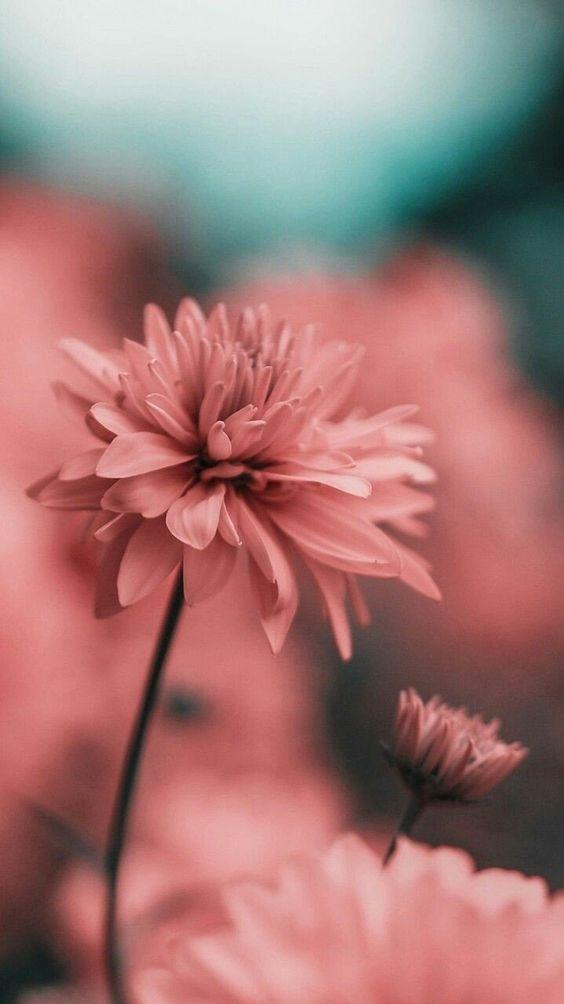 خلفيات جوال زهور 7 خلفيات جوال   ورد وازهار