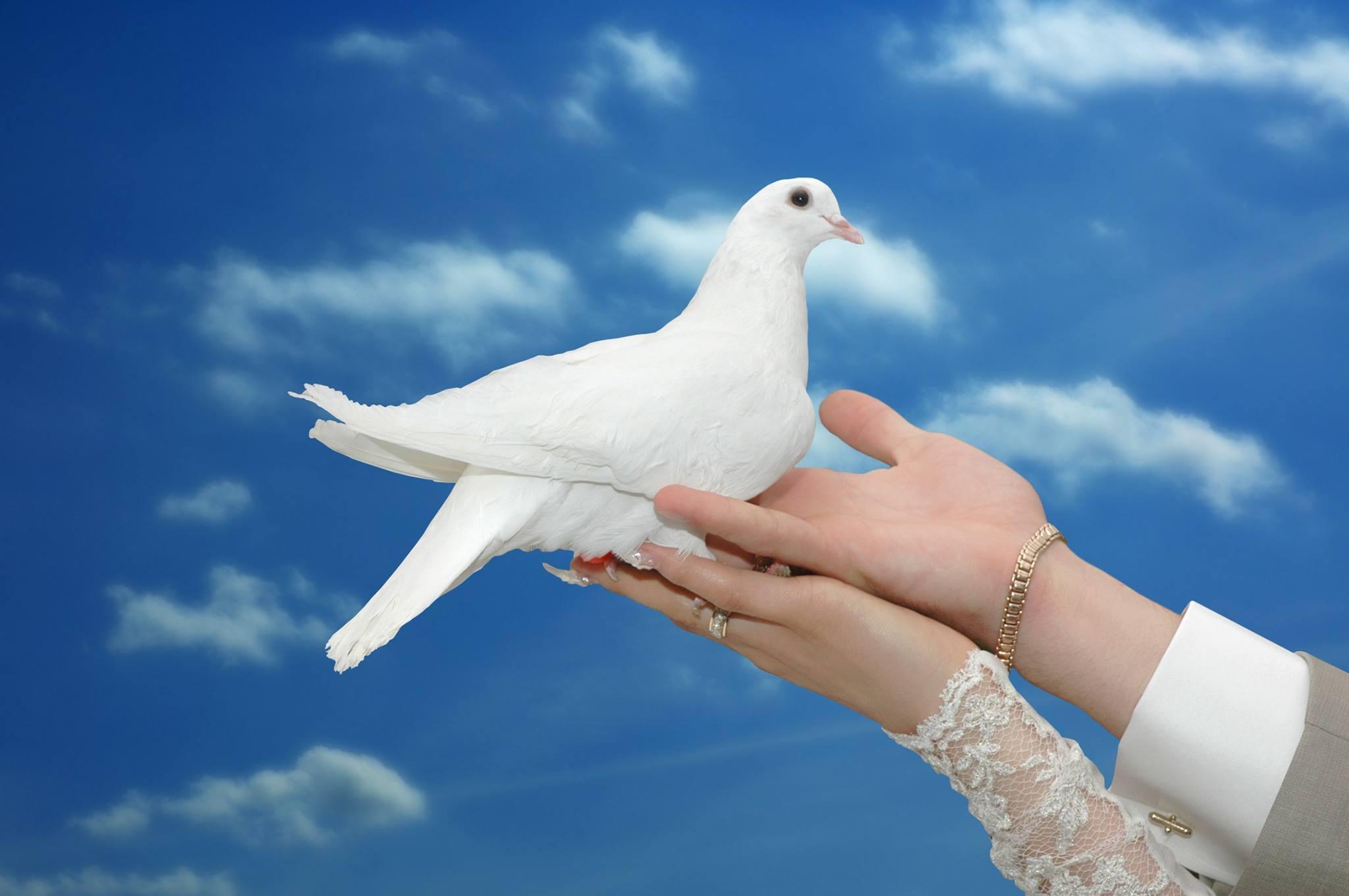 صور حمام ابيض يرفرف في السماء 1 صور حمامه السلام