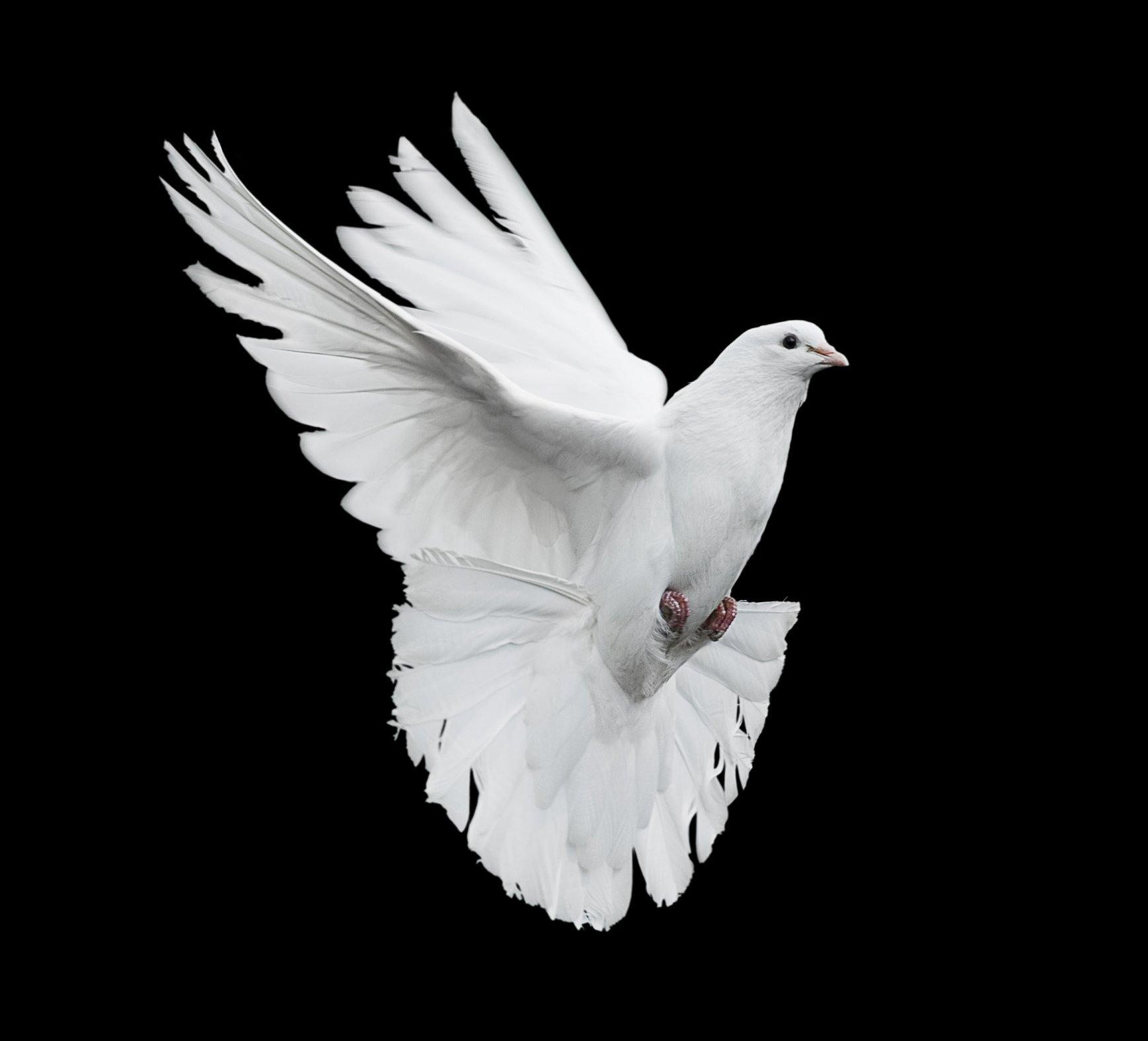 صور حمام ابيض يرفرف في السماء 11 صور حمامه السلام