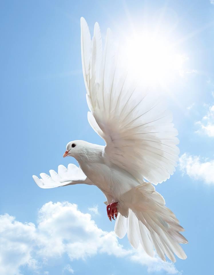 صور حمام ابيض يرفرف في السماء 15 صور حمامه السلام