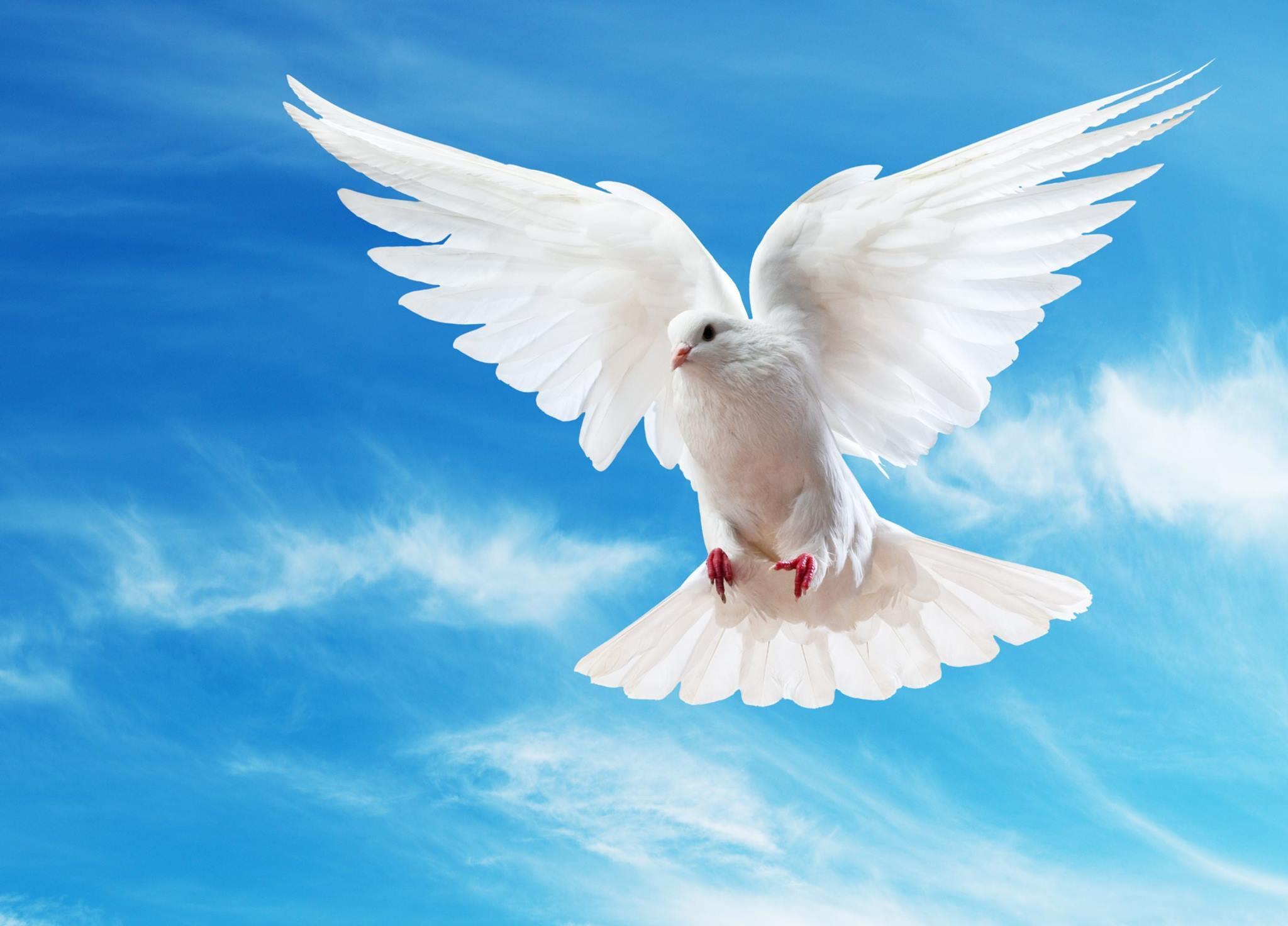 صور حمام ابيض يرفرف في السماء 16 صور حمامه السلام